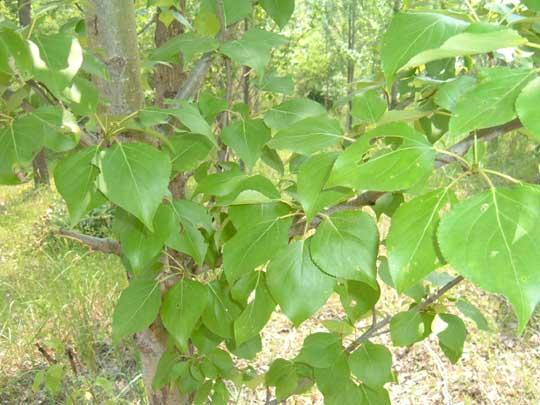 另外,杨树的叶子可用于加工饲料,栽培平菇;树皮